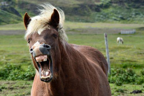 iceland pony,islandų salos,Islandijos arklys,arklys,ponis,gyvūnas,ganykla,kailis,gamta,Žiurkė,Uždaryti,žiovulys,pavargęs
