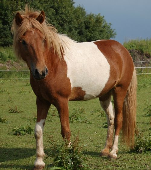 iceland pony,arklys,pataisytas,ganykla,Islandijos arklys
