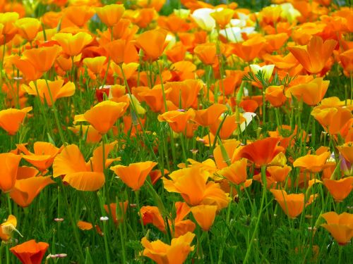iceland poppy flowers orange