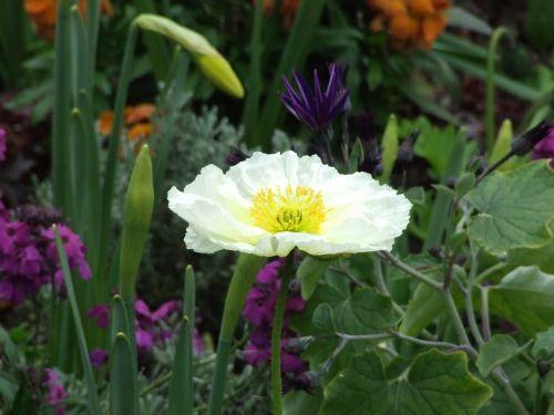 ispanų aguonas, balta gėlė, pavasario gėlė, gėlių pieva
