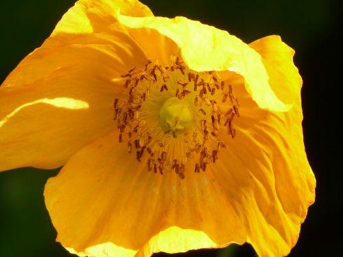 ispanų aguonas,aguona,gėlė,augalas,atgal šviesa,oranžinė,žiedas,žydėti,dekoratyvinis augalas