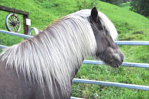 islandų salos,vėjo spalvos,ponis,arklys