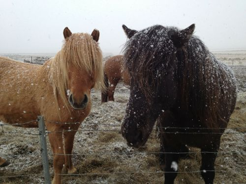icelandic horses iceland horses in snow