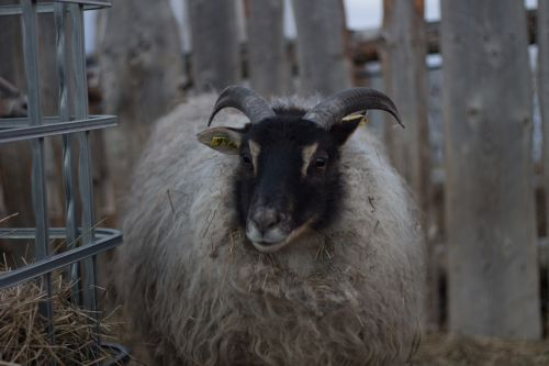 icelandic sheep sheep with horns white sheep