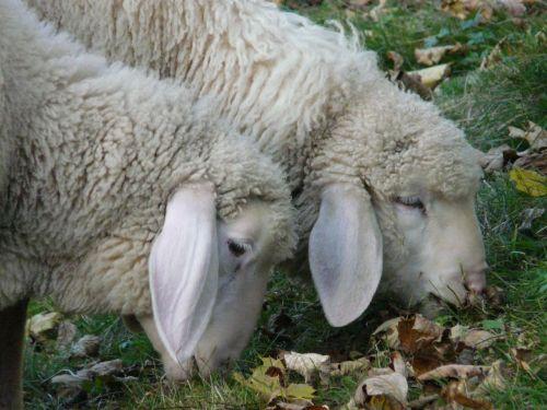 idiots sheep pasture