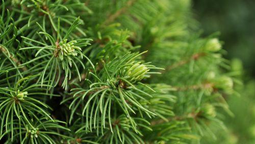 iglak bush plant