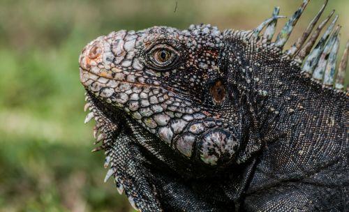 iguana ctenosaura dinosaur