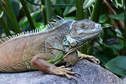 iguana posing sunning