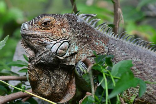 iguana posing portrait