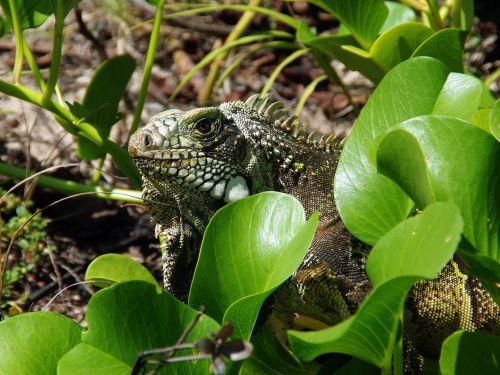 iguana reptile wild