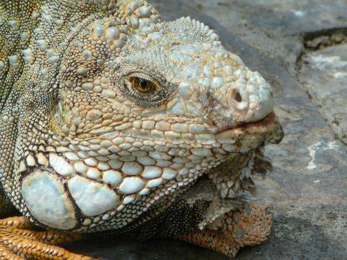 iguana nature animals