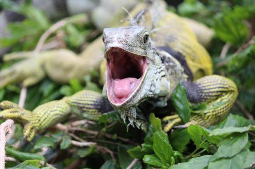 iguana foot dangerous