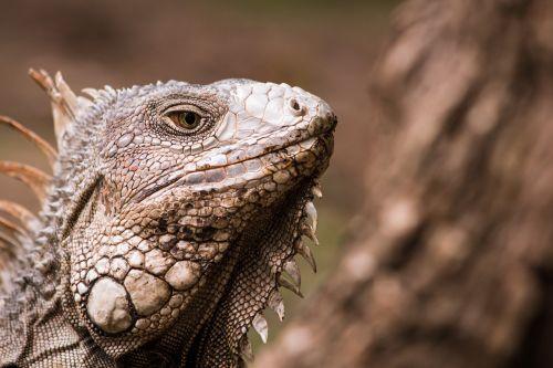 iguana animal reptíl