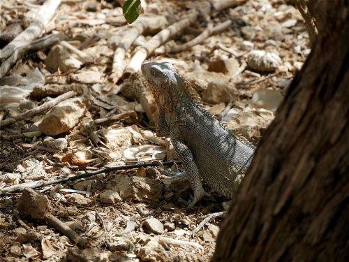 iguana reptile abc islands