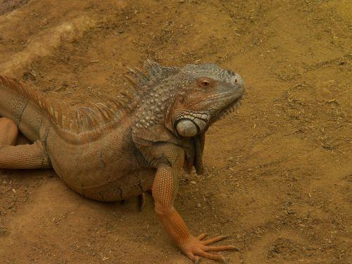 iguana desert zoo