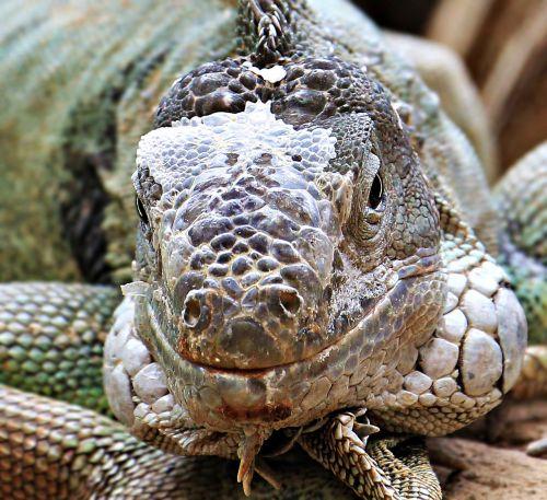 iguana,reptile,zoo,lizard,animal,dragon,scale,creature,scaly,schuppenkriechtier,head,exotic,tropical,tropics,animal world,wildlife photography