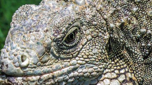 iguana lizard reptile
