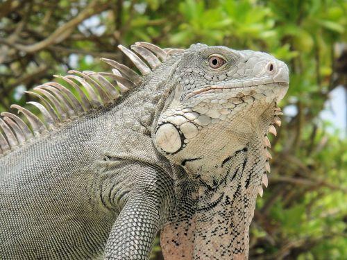 iguana reptile bonaire