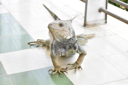 iguana fauna colombia