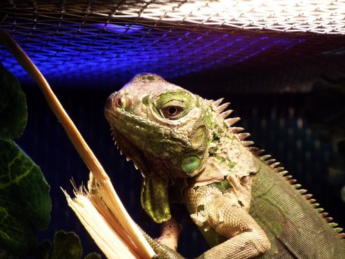 iguana reptile captivity