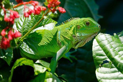 iguana reptile animals