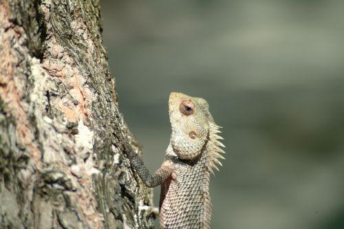 iguana lizard maldives