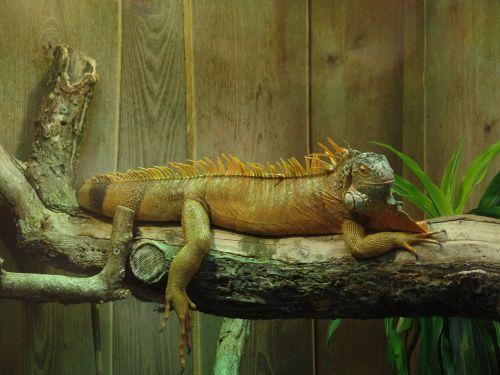 iguana terrarium lizard