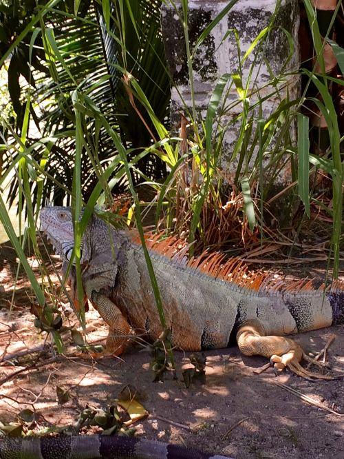 iguana mexico puerto vallarta