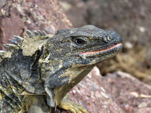 iguana tropical reptile reptile