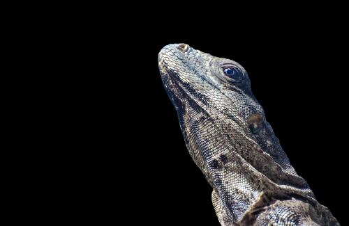 iguana lizard scale