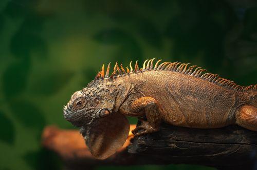iguana zoo reptile