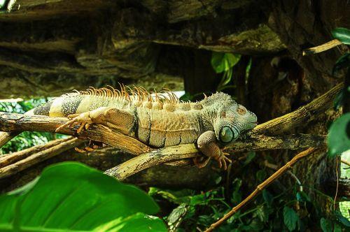 iguana reptile iguanidae