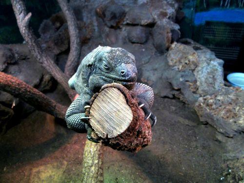 iguana animal zoo