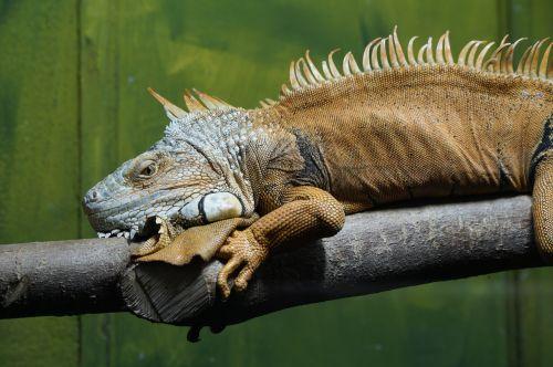 iguana green lizard