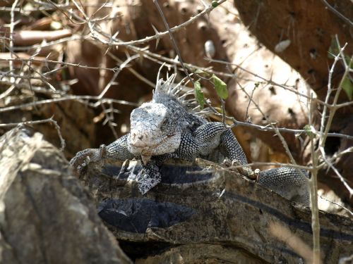 iguana reptile dragon