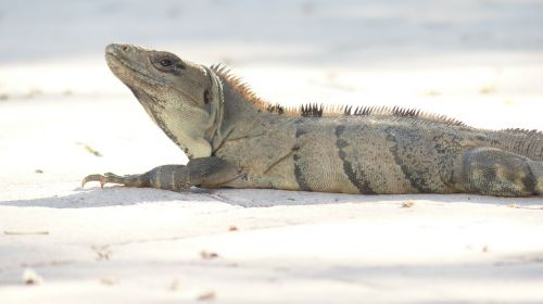 iguana hot lizard