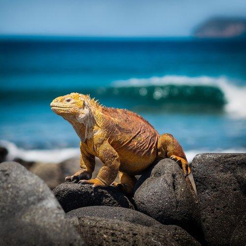 iguana  lizard  galapagos