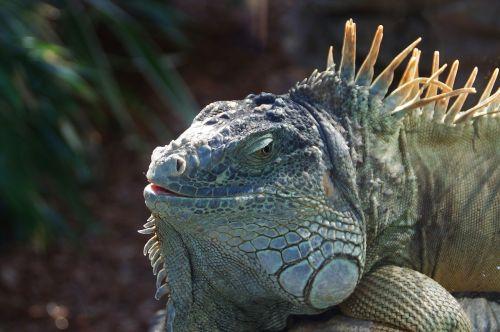 iguana reptile green