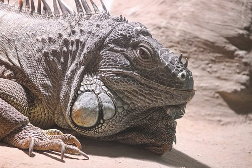 iguana  green iguana  iguana iguana