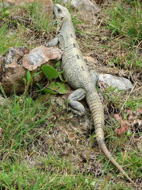 iguana  reptile  dinosaur