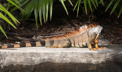 iguana  spiny  tailed