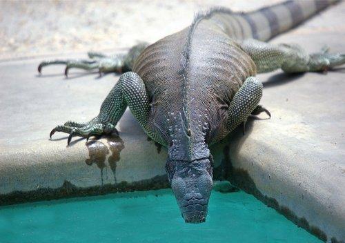 iguana  reptile  swimming pool