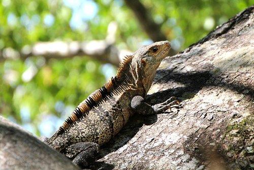 iguana  reptile  tree
