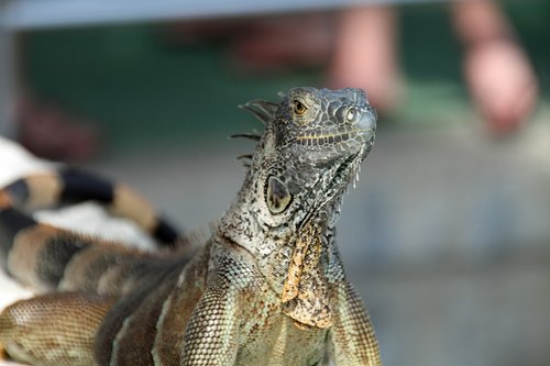 iguana  herbivorous  lizards