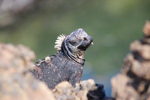 iguana  volcanic lands  enchanted islands