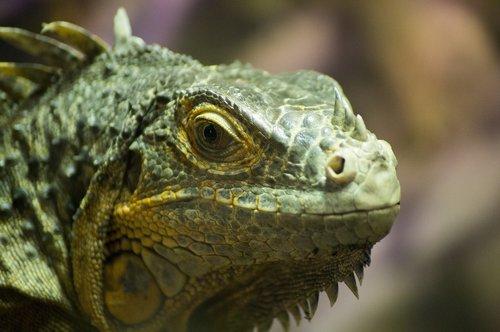 iguana  lizard  dragon