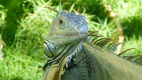 iguana  animals  lizard