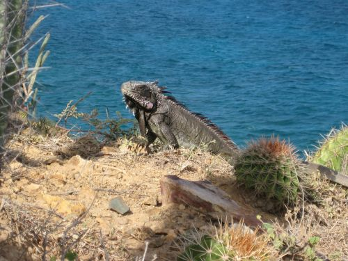 iguana dragon lizard
