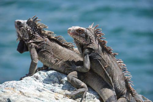 iguana stone sea