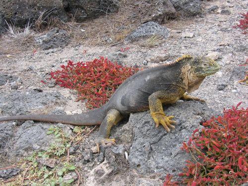 iguana galapagos beach